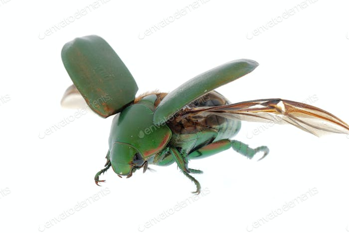 flying insect green beetle isolated on white