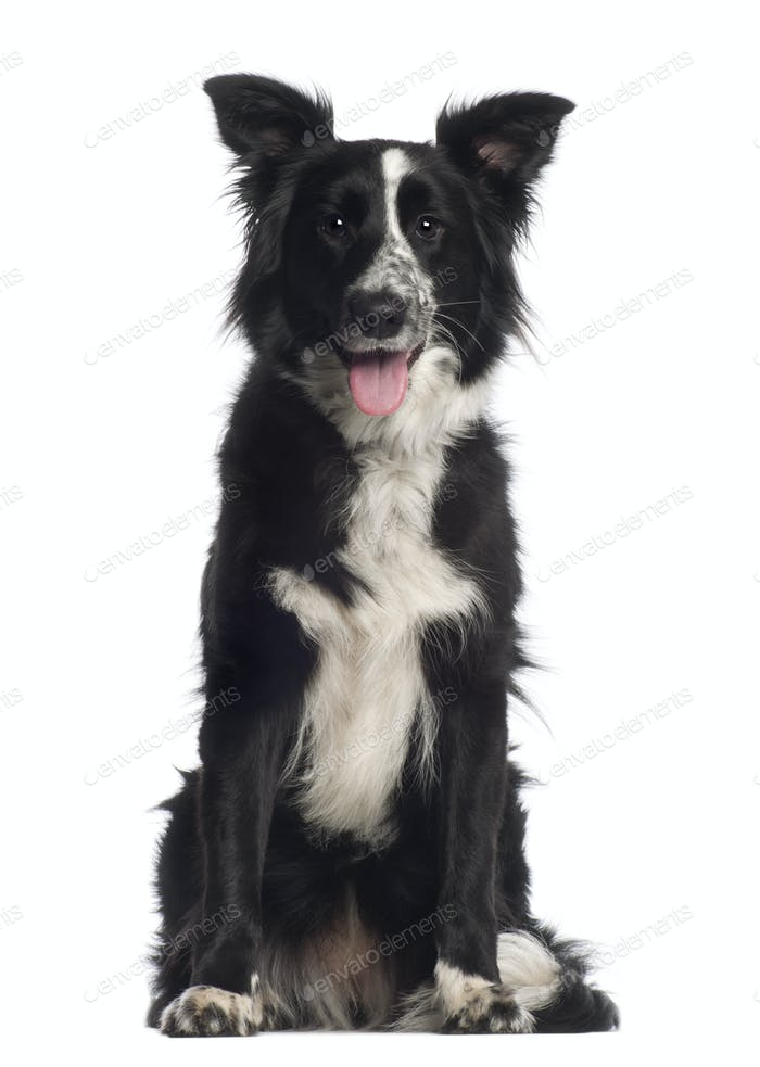 Portrait of Border Collie, 1 year old, sitting in front of white background