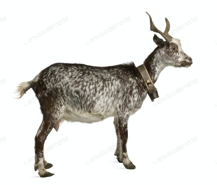 Female Rove goat, 3 years old, standing in front of white background