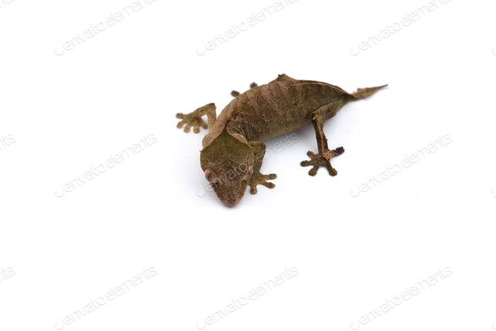 The satanic leaf-tailed gecko isolated on white background
