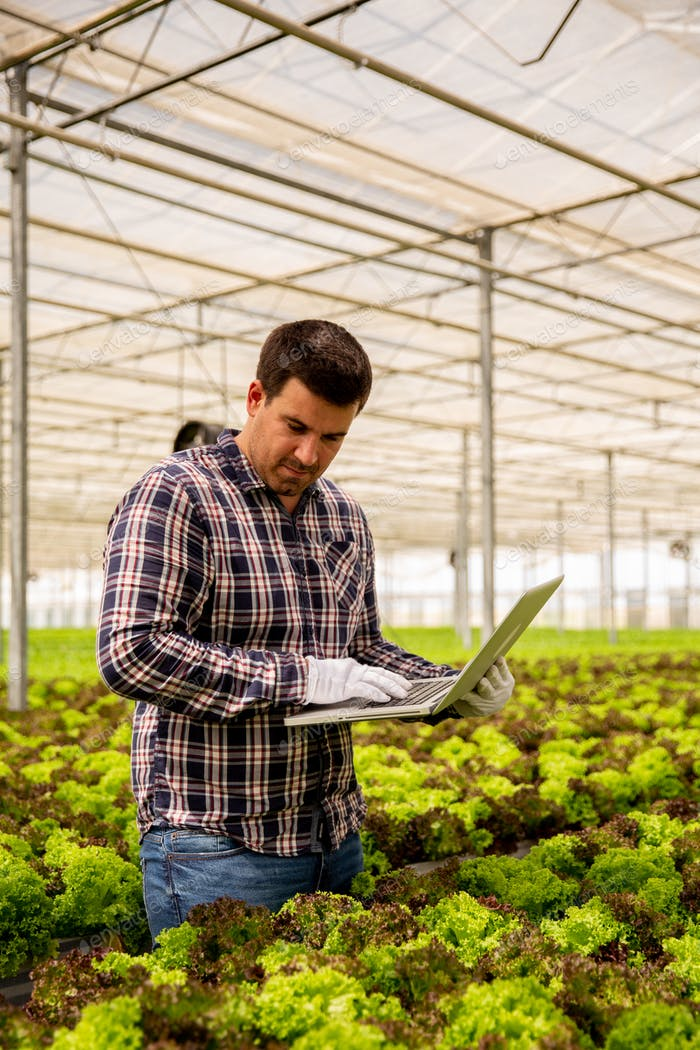 Farmer man types something in laptop while looking at salad plants