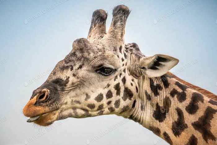 Giraffe in the wild, East Africa