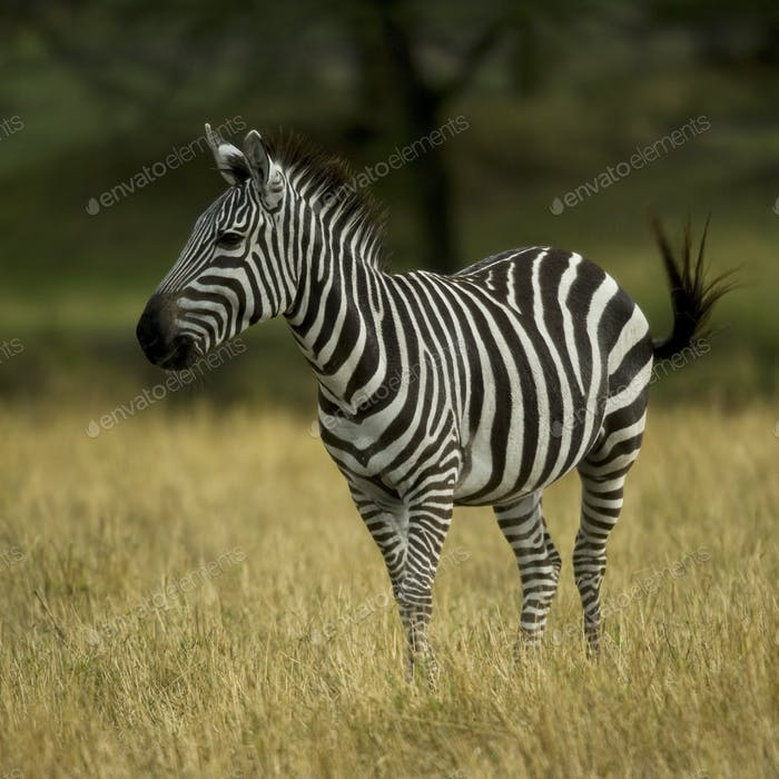 Zebra standing in field in the Serengeti, Tanzania, Africa