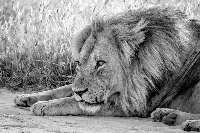 Close up of a male Lion laying in the sand.