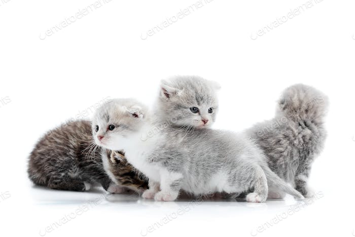 Grey blue-eyed little fluffy kittens playing and jumping on one another, one looking to the sid