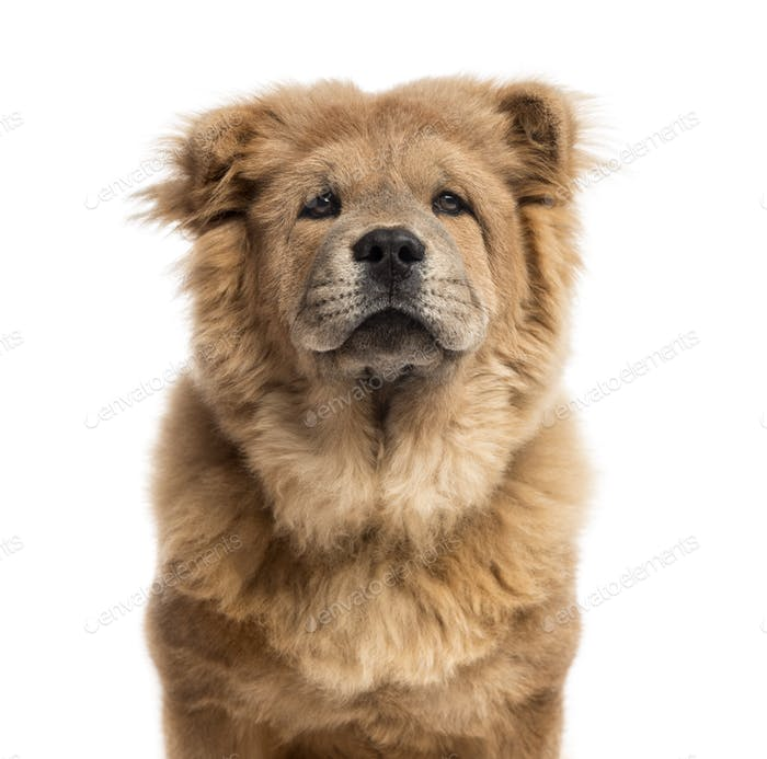 Close-up of a Chow-Chow in front of a white background