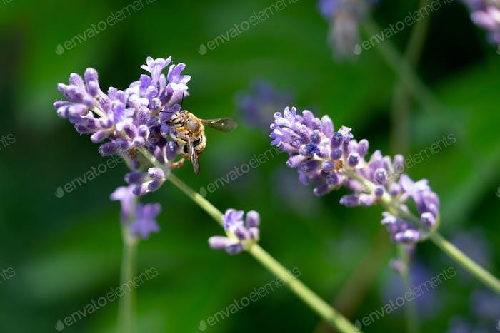 Detail einer Biene auf Lavendelblüte
