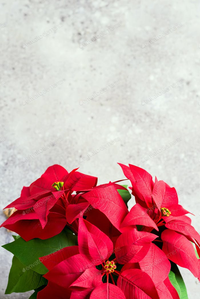 Christmas flower poinsettia on light background. Natural toned photo