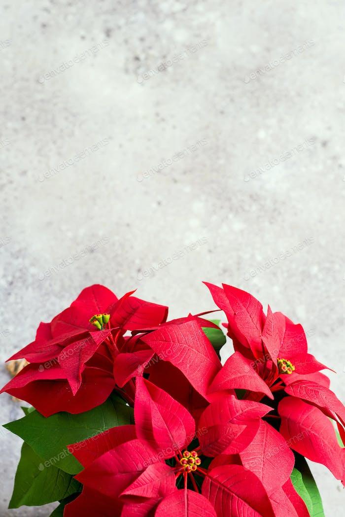 Weihnachtsblumen Weihnachtsstern auf hellem Hintergrund. Naturgetöntes Foto