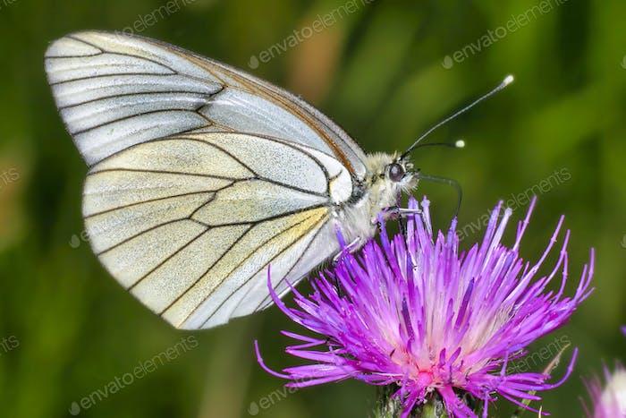 Schwarz-Veined Weißer Schmetterling, Guadarrama Nationalpark, Spanien