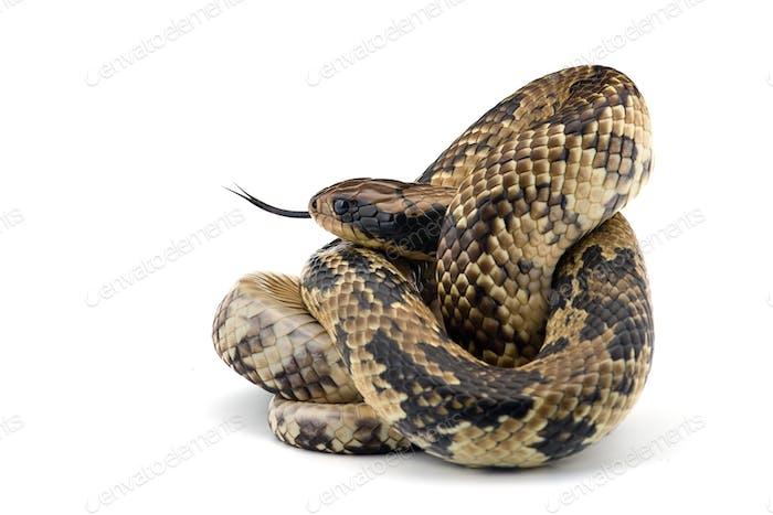 False water cobra isolated on white background