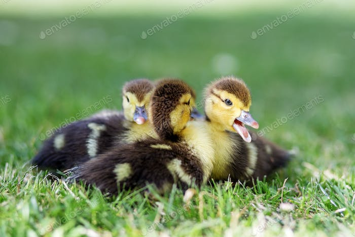 Little ducklings are sitting on the grass. The concept of pets, farm, farming