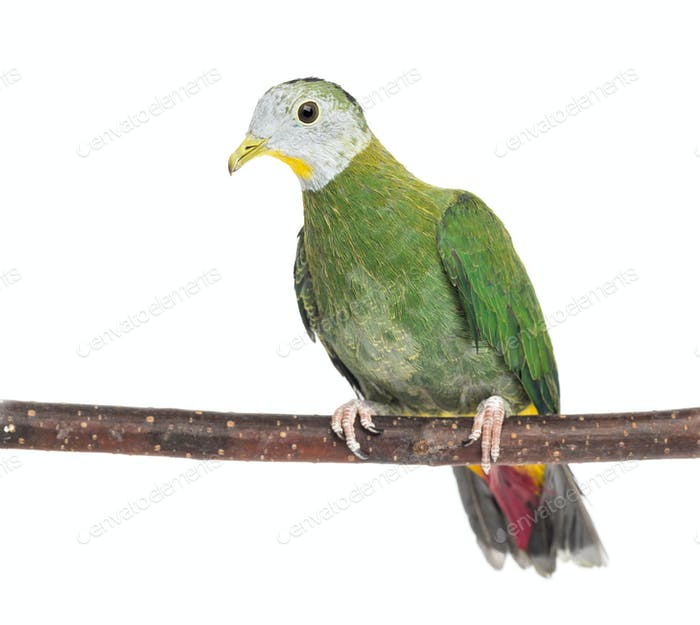 Black-naped Fruit Dove perched on branch, Ptilinopus melanospilus