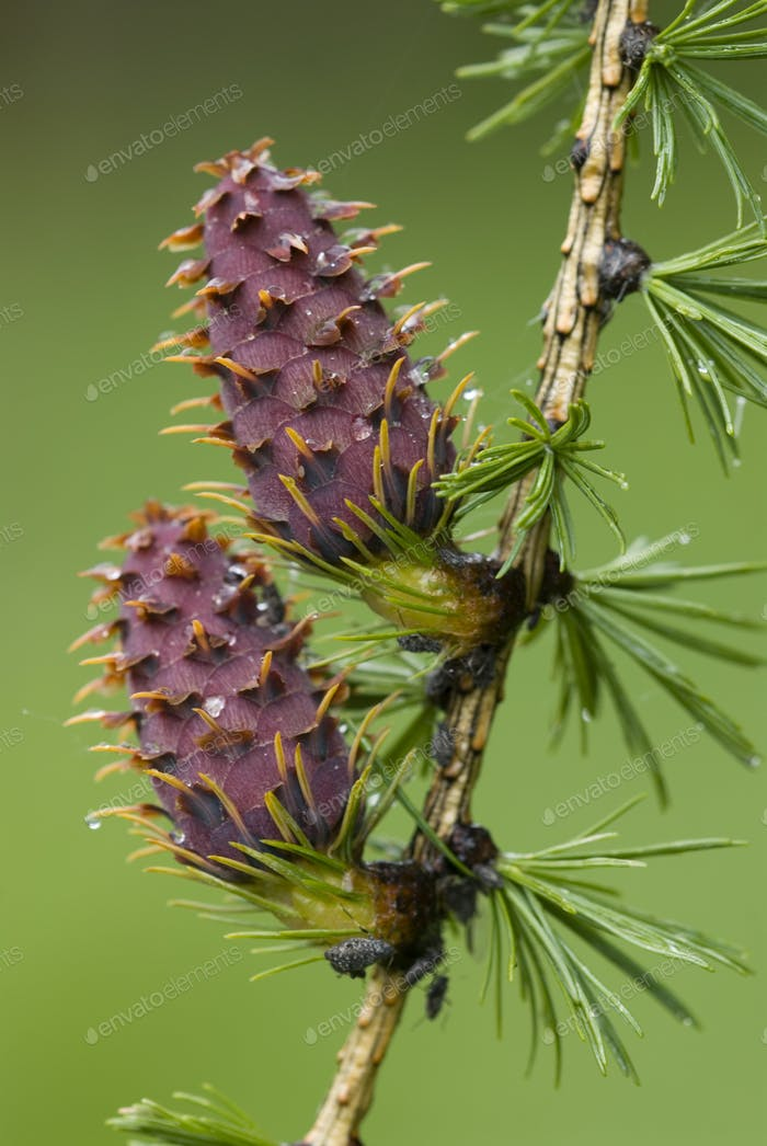 Larch Tree Pinecones