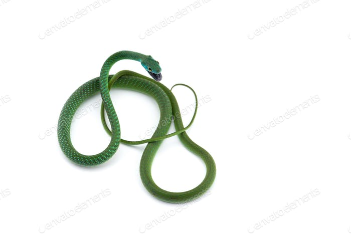 Northern Green Bush Snake isolated on white background