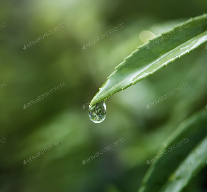 Closeup of water drop on leafs