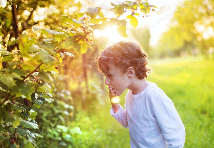 Little boy picking berries