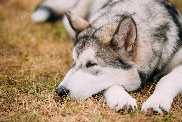 Beautiful Alaskan Malamute five-month puppy Dog sitting on dry g