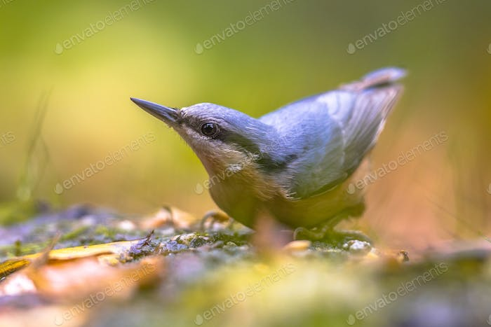 Eurasian Nuthatch autumn color leaves