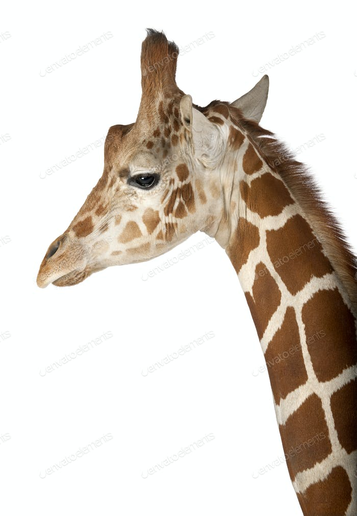 Somali Giraffe, commonly known as Reticulated Giraffe, Giraffa camelopardalis reticulata