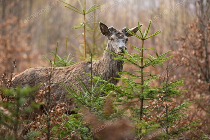 Red deer looking in forest in springtime nature