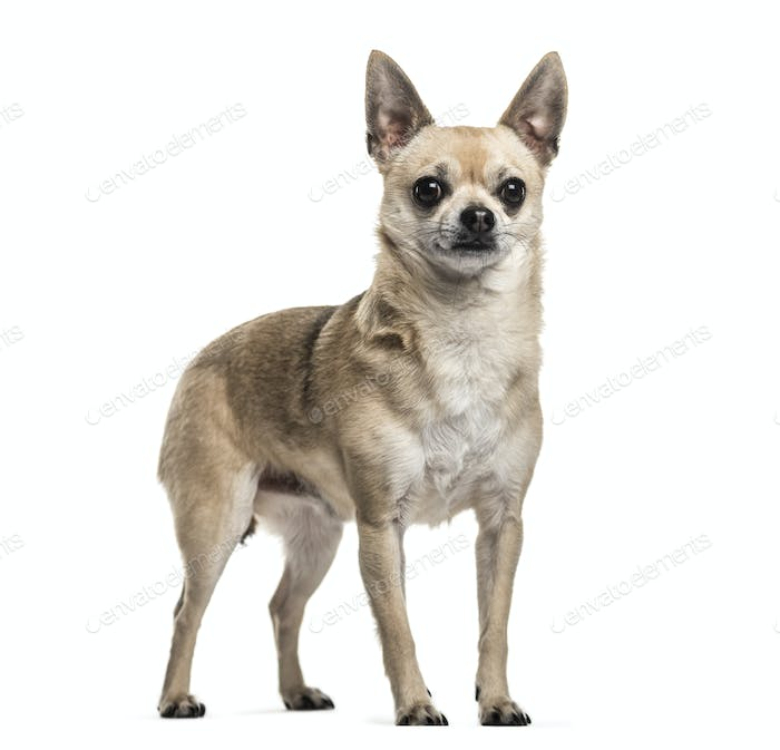 Mixed-breed dog standing, cut out