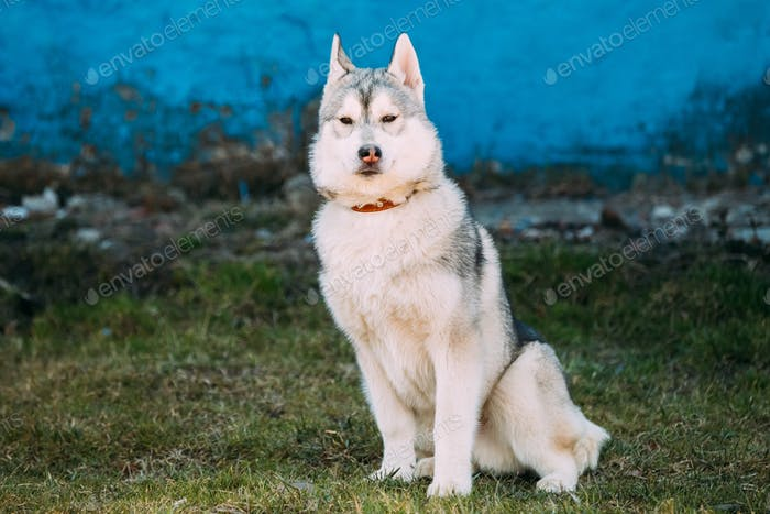 Young Funny Gray Husky Puppy Dog Outdoor