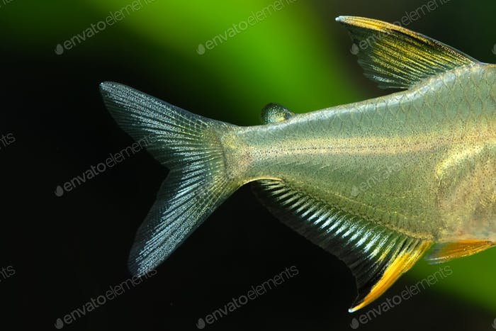 ?lose-up of tail and fins of aquarium fish the Lemon tetra Hyphessobrycon pulchripinnis.
