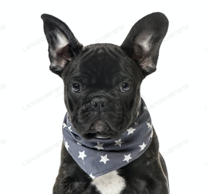 Close-up of a Black French bulldog Puppy with a starry scarf , isolated on white