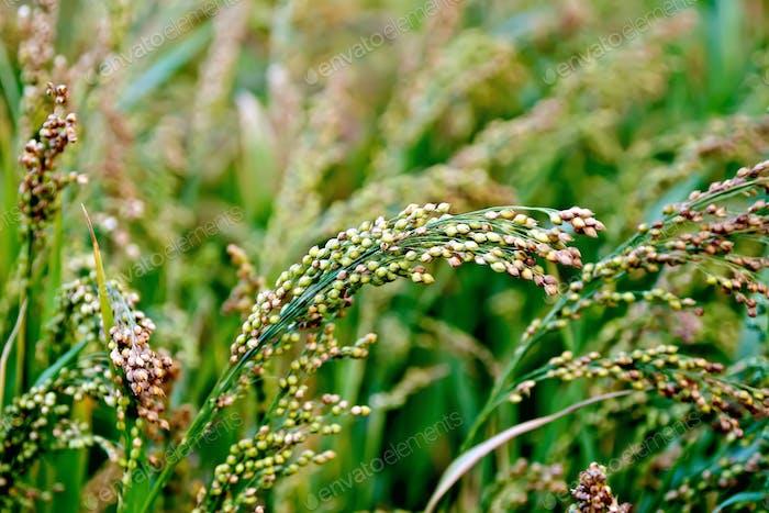 Millet stalks green