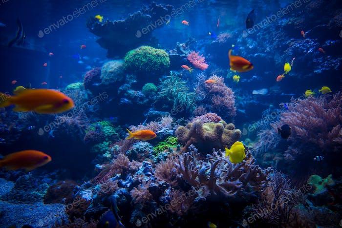 tropical fishes meet in blue coral reef sea water aquarium. Unde