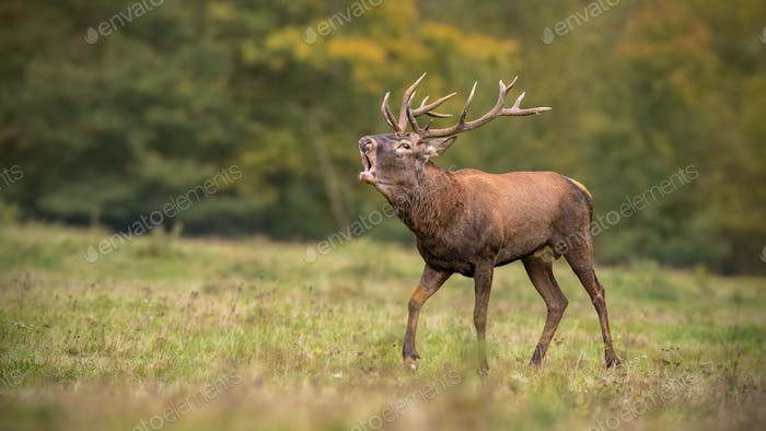 Red deer, cervus elaphus, stag roaring during rutting season in autumn