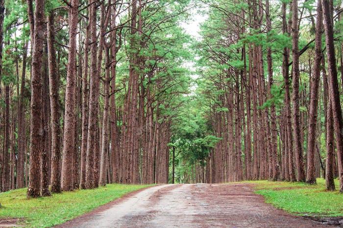 Pine trees in garden