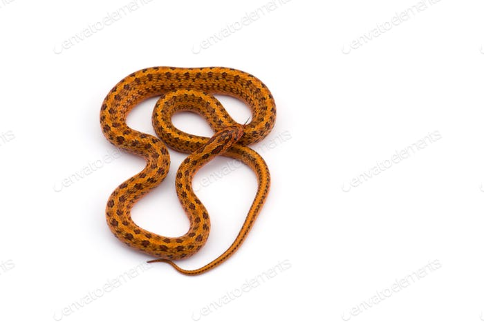Steppe rat snake top view isolated on white bacground