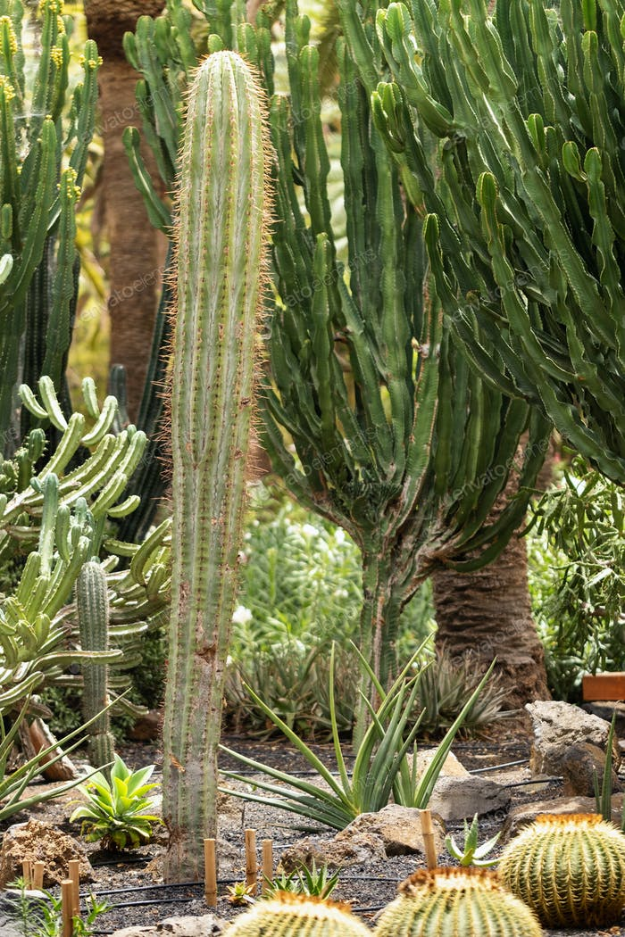 Large Cacti on the island of Tenerife.Canary Islands, Spain