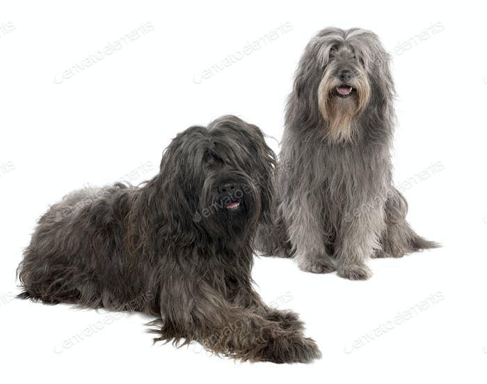 Catalan Sheepdog (6 and 3 years old)