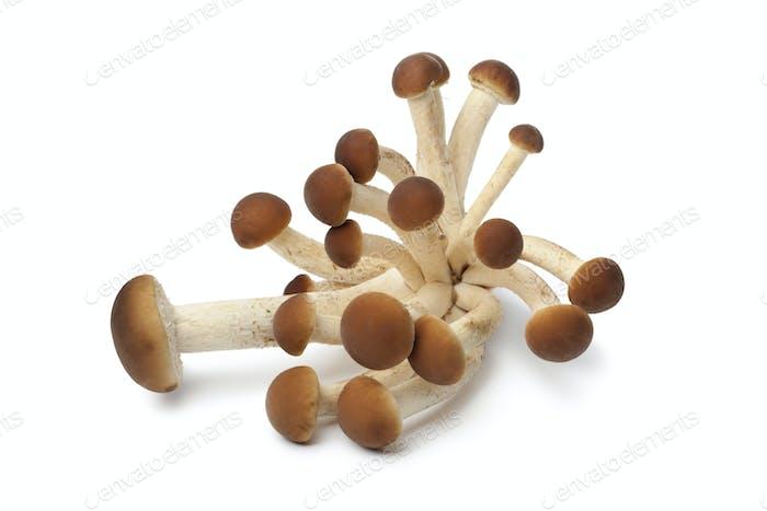 Frische Trauben von Pioppino Pilzen