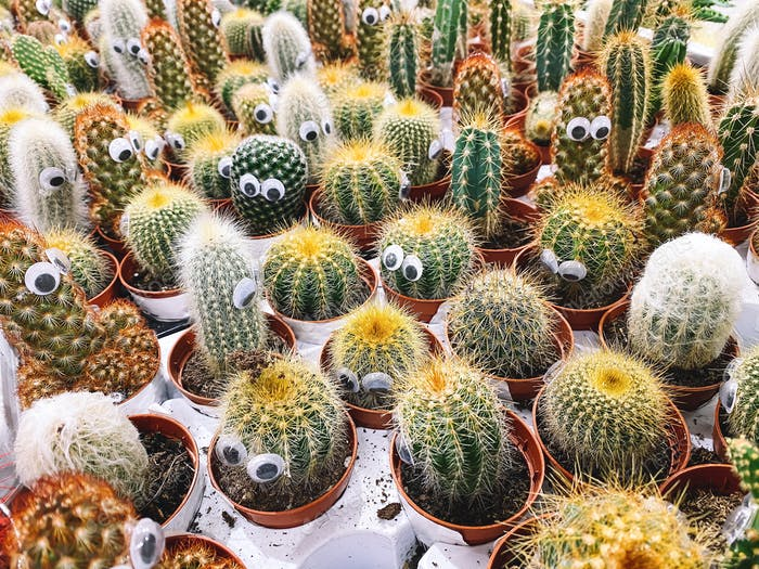 Cactuses with eyes in flower pots on plant store.