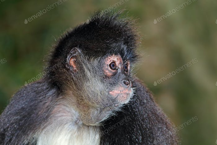 Spider monkey portrait 02