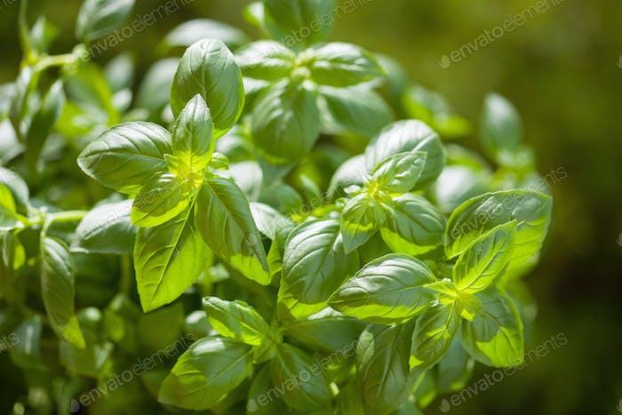 fresh basil herb in garden background