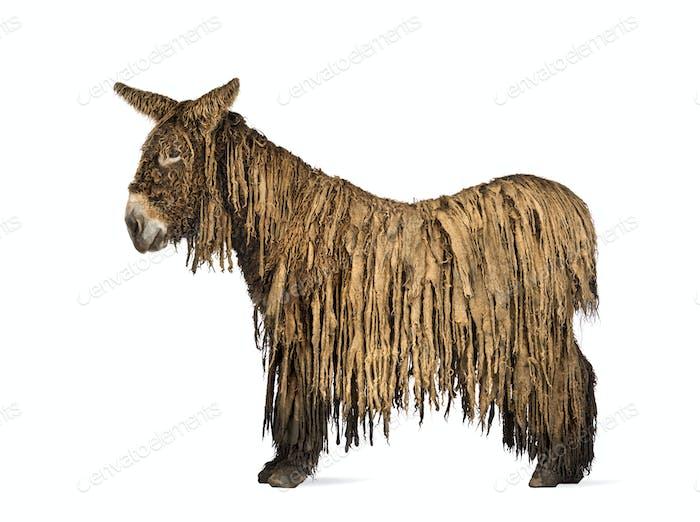 Side view of a Poitou donkey,  isolated on white