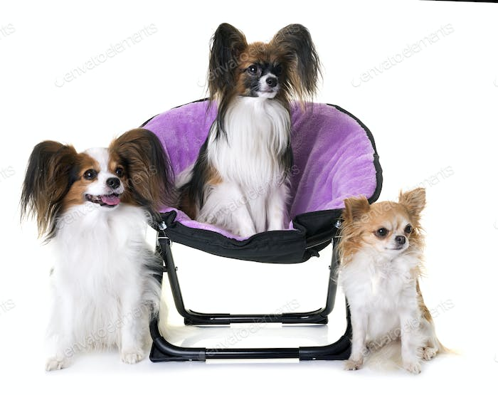 papillon dogs and chihuahua