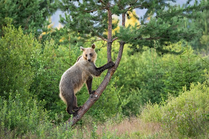 Agile brown bear female with bright fur climbing a tree in summer nature