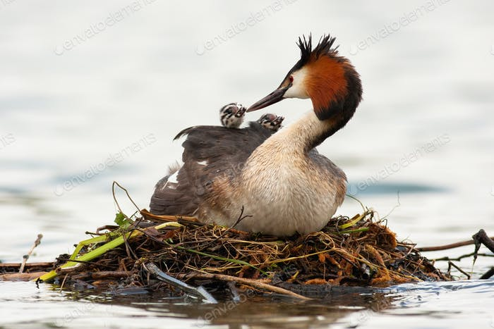 Great crested grebe mother feeding cubs on water in spring