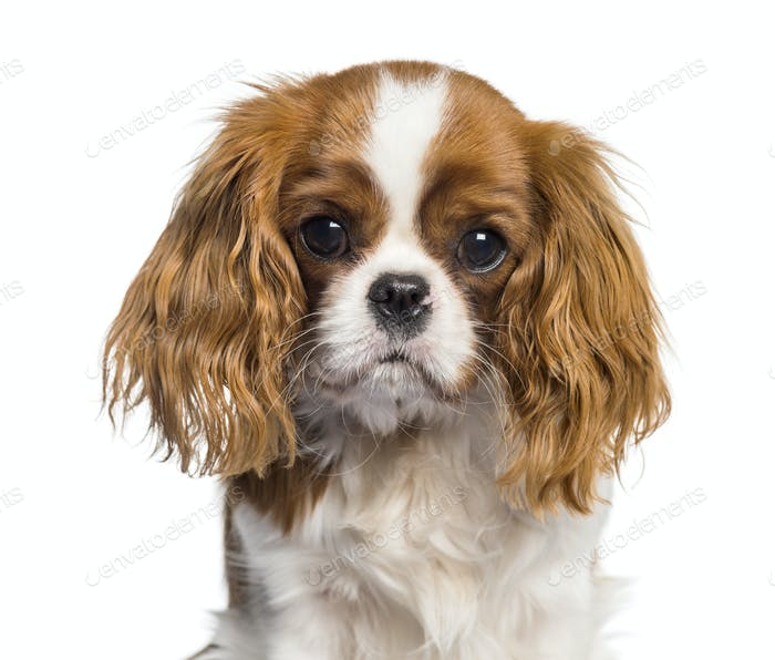 Puppy Cavalier King Charles Spaniel, dog