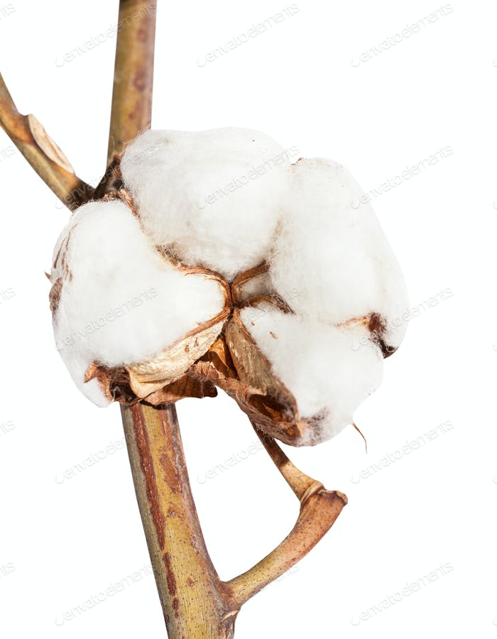 boll of cotton plant with wool on twig isolated