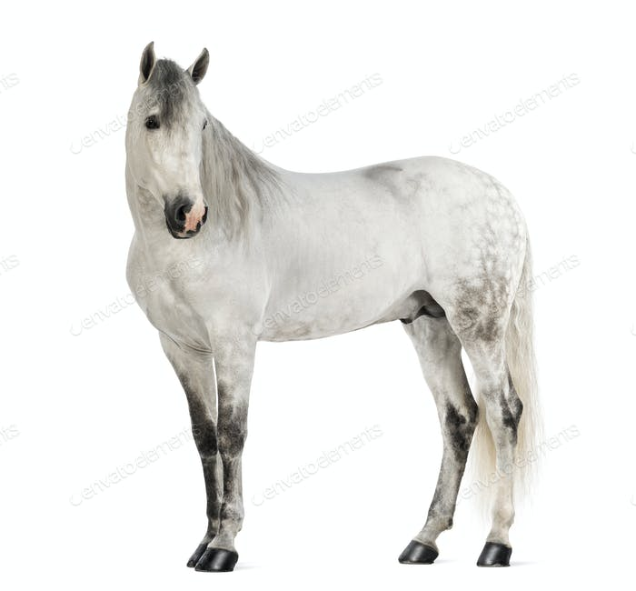 Male Andalusian, 7 years old, also known as the Pure Spanish Horse or PRE