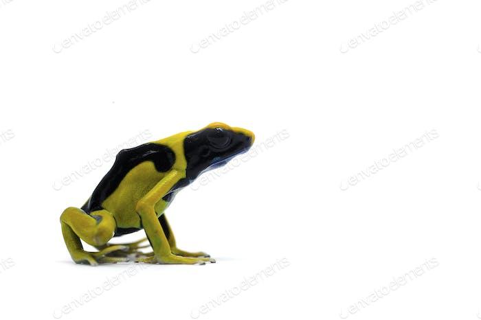 Poison dart frog isolated on white background