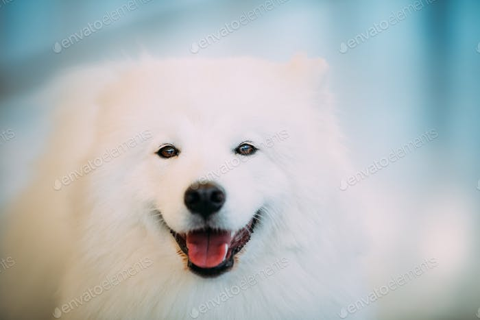 Happy White Samoyed Dog Puppy Close Up Portrait