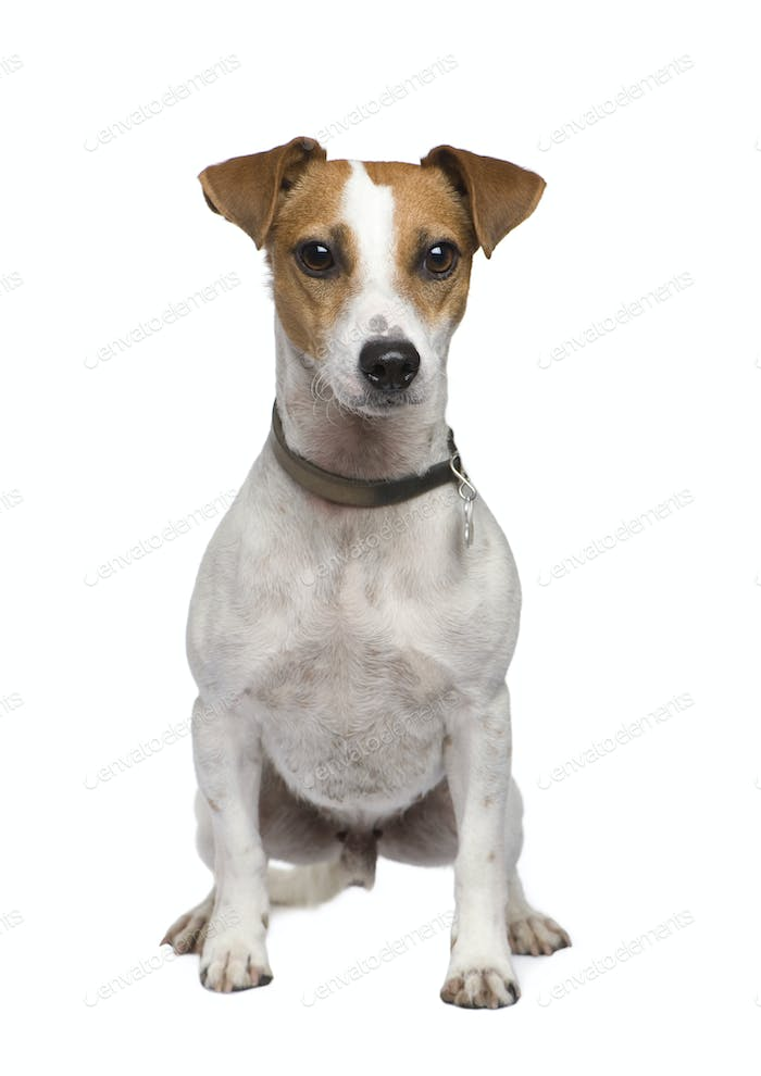 Jack russell (2 years)